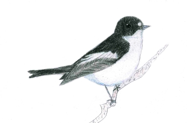 Pied flycatcher by Jessica Ilott
