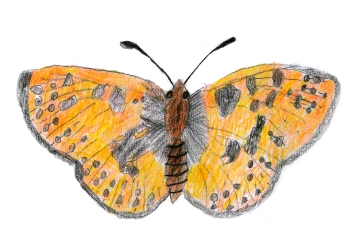 Pearl bordered fritillary by Emily Thomas